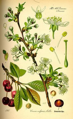 Botanical illustration of a cherry plant 1885