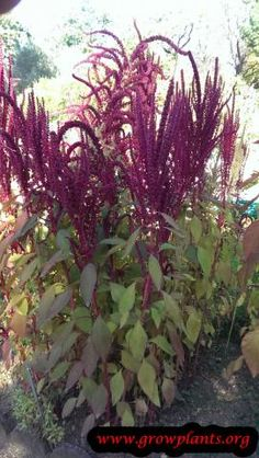 Amaranthus cruentus - How to grow & care Colorful Flowers, White Flowers, Amaranth Plant, Vegetative Reproduction, Amaranthus, Plant Information, Ornamental Plants, Plant Pictures, Annual Plants