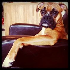 Boxer - Ahhh makes me really miss my Boxer !!Trunks!!, he will always have a place in my heart.
