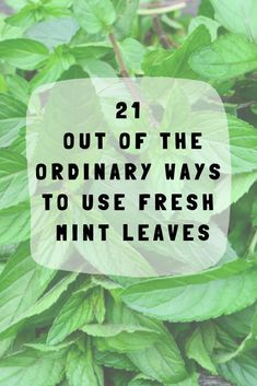 21 Out Of The Ordinary Ways To Use Fresh Mint Leaves Delightfully fragrant and relatively low maintenance, mint is a joy to grow - earning its place in any kitchen herb garden. Here are 21 wonderful ways to use it. Drying Mint Leaves, Fresh Mint Leaves, Uses For Mint Leaves, Mint Leaves Recipe, Mint Plant Uses, Mint Leaves Benefits, Herb Garden In Kitchen, Kitchen Herbs, Herbs Garden