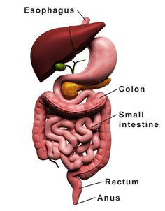 Real Pictures Of Human Digestive System . Real Pictures Of Human Digestive System Digital Illustration Of Human Digestive System In Colour Background Constipation Relief, Relieve Constipation, Back Pain Symptoms, Human Digestive System, Medical Specialties, Muscle And Nerve, Human Body Anatomy, Gastroenterology, Girl Cooking