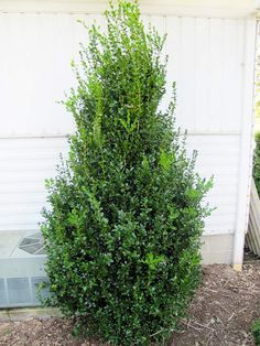 'Highlander' Boxwood (Buxus sempervirens 'Highlander'): Fast growing, upright shrub. dark green foliage holds its color all winter. Leaves are slightly larger than common boxwood, feature the same dark green. Can grow 2 feet+ per year. pyramidal growth habit makes it good choice for flanking entries. Full sun to light shade and moist, well-drained soil. 6-7 feet tall, 3-1/2 feet wide. Zones: 5-9