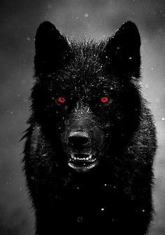 Imagine having a pet wolf who was not only your pet but a friend too. A trusted one to watch your back. A wolf called Midnight, dark watcher of the day, bright warrior of the night. Wolf Love, Bad Wolf, Beautiful Creatures, Animals Beautiful, Majestic Animals, Animals And Pets, Cute Animals, Wild Animals, Angry Animals