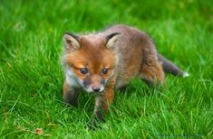 Baby foxes r so freaking cute!