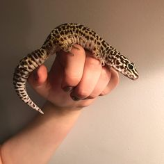 One of my three leopard geckos, she's a normal