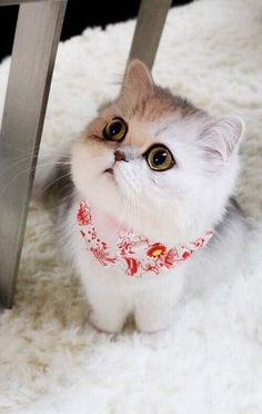What shredded drapes, Innocent looking white kitten, cute cats, sweet kittens, Cute Kittens, Kittens And Puppies, Pretty Cats, Beautiful Cats, Animals Beautiful, Animals And Pets, Baby Animals, Cute Animals, Chat Kawaii