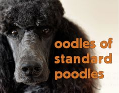 A Play Group & Social for local Standard Poodles and their owners. Plan and post an event for poodle play. Ask for suggestions from your new Oodles Organizer EV. Hope to see you soon!