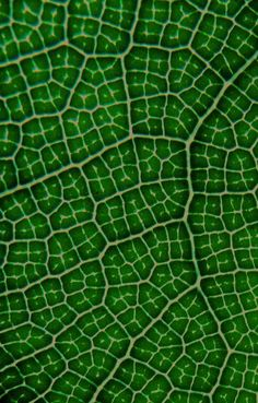 Fiddle-leaf fig leaf veins, Ficus lyrata. Photo: David Clode.