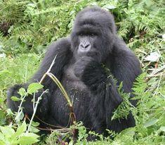 Photo of Mountain Gorilla Rwanda for fans of Primates 489134 Gorilla Gorilla, Primates, Mammals, Gorilla Trekking, Mountain Gorilla, Explore Travel, Gentle Giant, Orangutan, Cute Animals