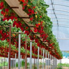 how to grow plants Growing strawberries indoors strawberries growingindoors gardening is part of Growing strawberries - Veg Garden, Vegetable Garden Design, Fruit Garden, Edible Garden, Garden Beds, Garden Rake, Strawberry Garden, Strawberry Plants, Suculentas Interior