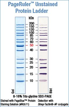 Pageruler Prestained Protein Ladder My Masters Degree
