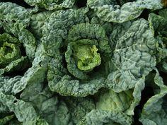 Savoy Cabbage, Deborah Madison