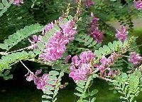 Grow and harvest Indigo dye from the plant - Indigofera tinctoria  the plants pretty too.