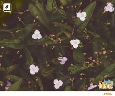 Vamos falar sobre Véu-de-noiva? Mas não é aquele que você vê nos casamentos, mas sim de uma plantinha excelente para vasos e cestas pendentes! Essa espécie tem folhas verde-escuras e flores pequenas, solitárias, brancas, com três pétalas. Sua manutenção é bem simples: boa rega e fertilizações orgânicas semestrais.