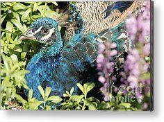 Pretty As A Peacock Acrylic Print by Nicole Engelhardt