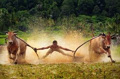 """earth-song: Pacu Jawi (Cow Race)"""" by Agus Gunawan People Of The World, The Real World, Sumatran Orangutan, Life Pictures, Life Pics, Minangkabau, Earth Song, India Culture, Animal Species"""