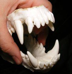 Wolf dog hybrid jaws teeth cast taxidermy #replicamold