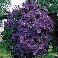 """Clematis 'Jackmanii' June - August 150 years..The 4-petaled blooms are held open and measure 4"""" across. A rich, velvety purple, their color is enhanced by central reddish-purple stripes on each petal and contrasting creamy green anthers.eventually reach 12 - 20 ft high; 4- 6 ft wide. climb a pergola, thread through trellis, and grow up through shrubs and small trees.Tolerant of a wide range of soils and aspects.  Best in light (not deep) shade, high canopies of tree branches. Pruning Grp…"""