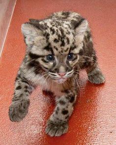 Leopard Cubs | Leopard