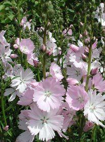 Sidalcea malviflora 'Elsie Heugh' - Präriemalve