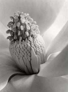 Magnolia Blossom, Tower of Jewels, Imogen Cunningham, 1925,Platinum Print