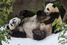 "Pandas frolicking in ""snow"" brought in for them to play in. I defy you not to enjoy this :-)"