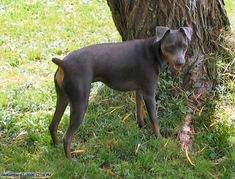 That is my baby Bleu, Blue Miniature Pinscher Mini Pinscher, Miniature Pinscher, Doberman Pinscher, I Love Dogs, Cute Dogs, Australian Shepherd, Mans Best Friend, Best Dogs, Animal Pictures