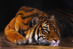 Sumatran Tiger. | Flickr - Photo Sharing!