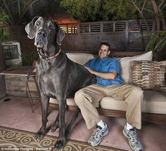 Worlds largest Great dane!