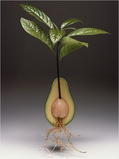 How to Plant an Avocado and Turn it into an Elegant Houseplant by ivillage.ca. Getty Images #Avocado_Plant