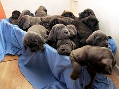 TIA THE BLUE MASTIFF Litter Count: 24 A British dog breeder was expecting, at most, 10 puppies in November 2004 when his Neapolitan bull mastiff produced 24 instead. Tia ended up breaking the Guinness World Record for largest litter of puppies