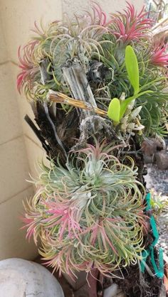 Air plants and orchids growing on a hapu (fern) stump.