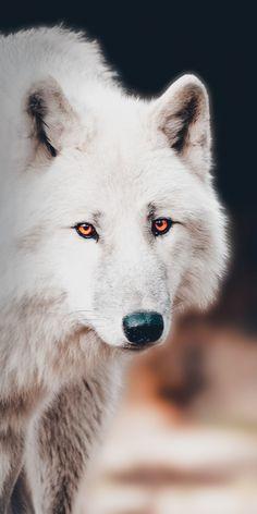 The white wolf, portrait wallpaper - Animals Wallpapers - Wolf Photos, Wolf Pictures, Wolf Wallpaper, Animal Wallpaper, Wallpaper Wallpapers, Beautiful Creatures, Animals Beautiful, Animals And Pets, Cute Animals