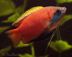 Honey Gourami                                                       …