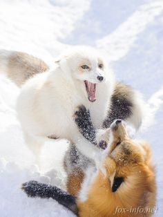 Arctic and Red Fox | fox-info.net - foxinfonet - fox_info_net
