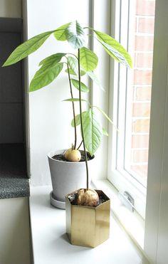 DIY Avocado planter