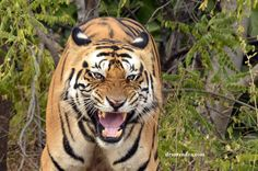 """""""Don't Disturb"""" by Surendra Gullapalli: This is my land, I make the rules. You better follow them. That is what this tiger in full bloom seems to be saying in Bandhavgarh National Park in India."""