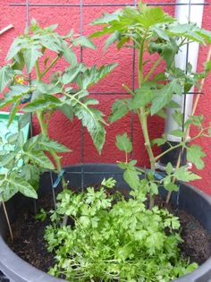 Karotten Anbau Tipps Zur Gemüse-anzucht Balkon-terrasse | Balkon ... Gemuse Im Blumentopf Garten Balkon Tipps