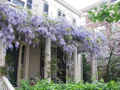 wisteria I would love to have this near my house.