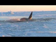 Killer whales trapped in ice of Hudson Bay