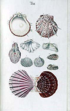 18th Century Natural History Print of Seashells #2