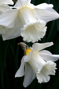 """Narcissus 'Mount Hood' White Trumpet Dafodil 4"""" trumpet flowers , 18 to 20 """" , full sun to light or open shade, drought tolerant"""