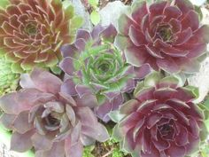 Glorious green and red, mixed and mingled colors in overlapping concentric circles - Sempervivum tectorum, or the roof houseleek, is resilient, robust and resourceful; how many other plants could survive (and thrive!) on a roof?