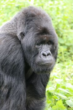 I fulfilled the ultimate bucket list adventure and hiked to see the mountain gorillas in Rwanda this summer. It was heaven Adventure Bucket List, Adventure Travel, Downton Abbey Castle, Rwanda Travel, Female Gorilla, Down From The Mountain, Dian Fossey, Mountain Gorilla, Volcano National Park