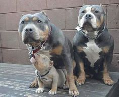 Beautiful blue and silver tri colored pit family