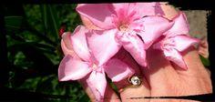 Nerium Oleander Belle Heléne