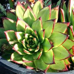 Echeveria agavoides 'Lipstick'/'RubyLips' is a succulent that blooms in summertime.  *Sun/Shade  *Less than 1 foot high  *1-2 feet wide