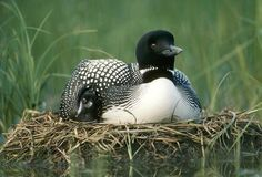 Common Loon (Gavia immer) parent on nest with one day old chick in the summer, Wyoming