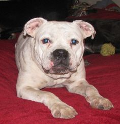01/21/16--Scribbles Dog • American Bulldog Mix • Adult • Female • Large Pup Squad Animal Rescue Houston, TX