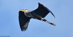 Blue Heron Over Andalusia